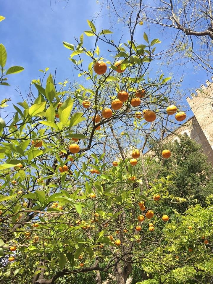 citrus tree mallorca