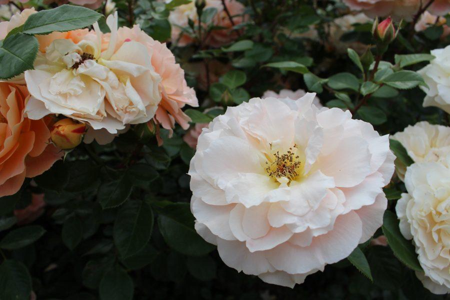 The Rose Garden Baden Baden