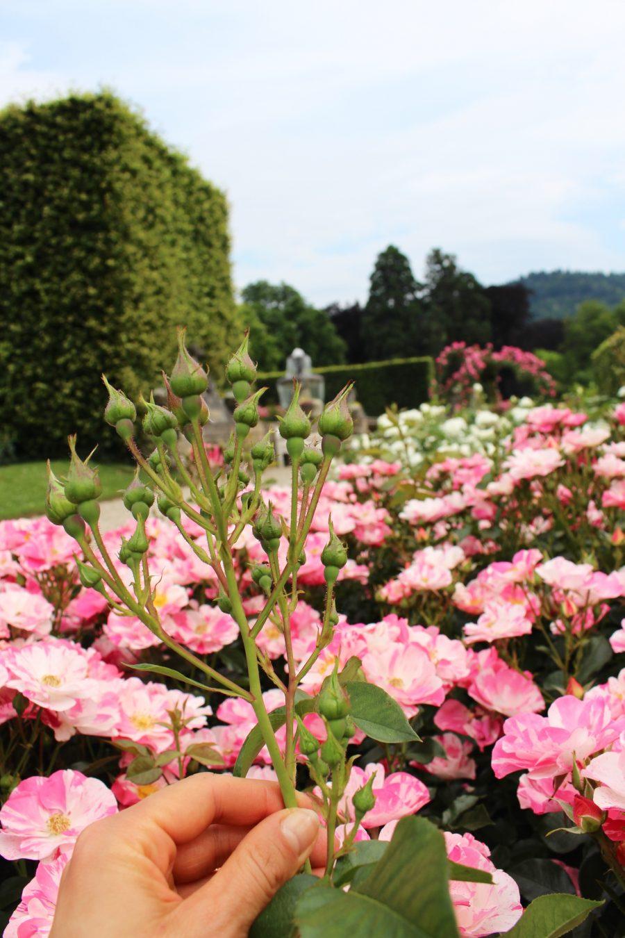 rose garden baden baden
